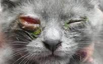 عفونت دستگاه تنفسی فوقانی در گربه ها